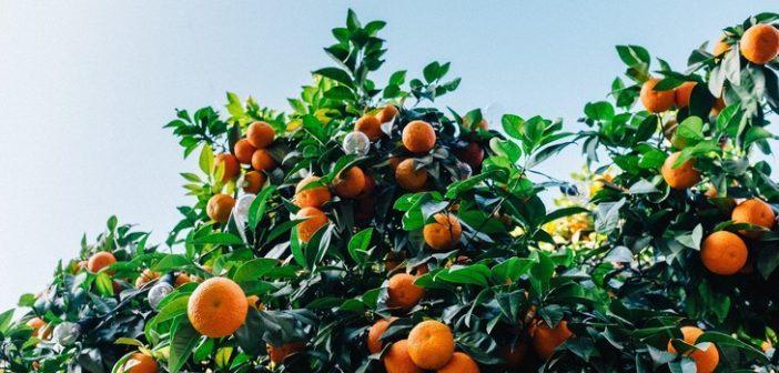Filière agrumicole: Démarches pour réhabiliter les champs de la variété Clémentine.